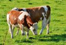 New EU guides on animal transport launched