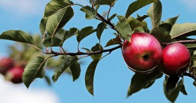 izvoz jabuka